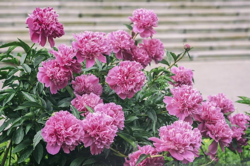 Abundant lush flowering Pink purple peonies in garden. Traditional floral symbol, flower of riches and honour and king. Abundant lush flowering Pink purple royalty free stock photo