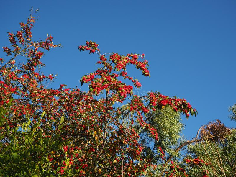 Red berries against a clear blue sky. Abundant red berries on a bush seen against a vivid blue sky royalty free stock image