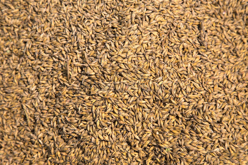Abundant Wheat Harvest. A great background image, this photo shows abundant grains of wheat. It symbolizes autumn and harvest time stock images