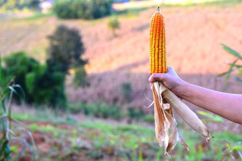 Abundante en campos de maíz refleje la luz del sol , Para expresar el concepto de calidad del suelo, el fertilizante, o la semill fotos de archivo