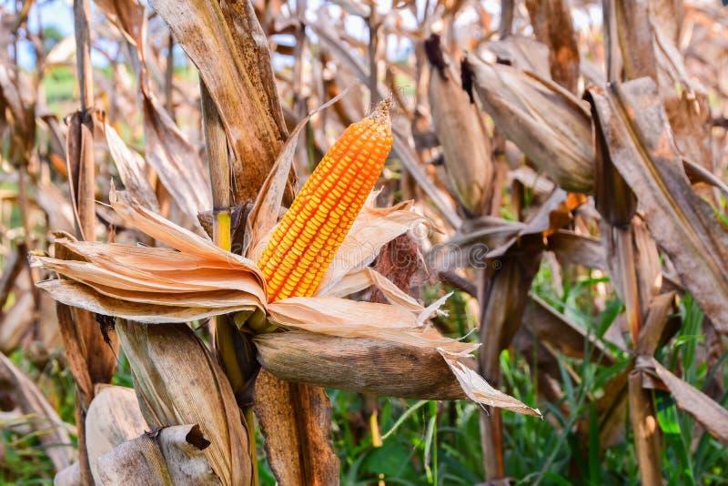 Abundante en campos de maíz refleje la luz del sol , Para expresar el concepto de calidad del suelo, el fertilizante, o la semill fotografía de archivo libre de regalías