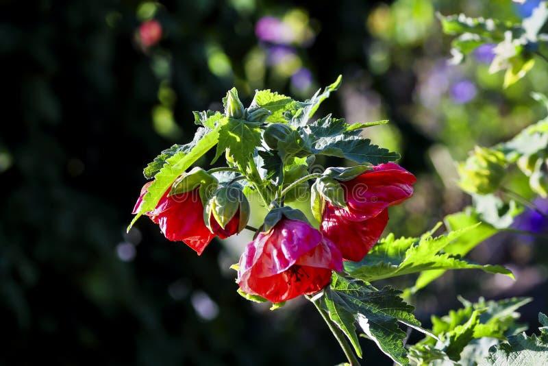 Abutilon Hybrids, Abutilon mill., Malvaceae royalty free stock image