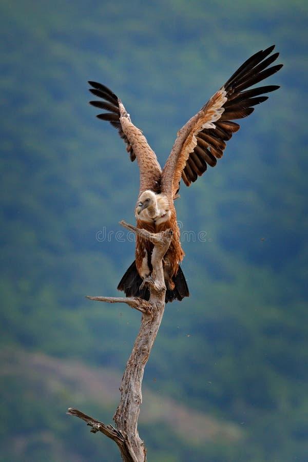 Abutre com asas abertas Griffon Vulture, fulvus dos Gyps, pássaros de rapina grandes que sentam-se na montanha rochosa, habitat d foto de stock
