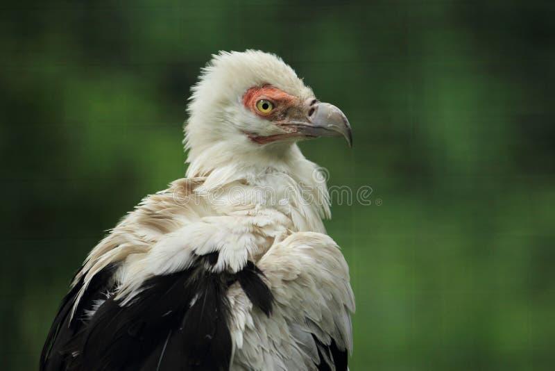 abutre da Palma-porca foto de stock