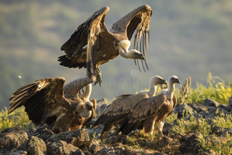 Abutre de Griffon - fulvus dos Gyps foto de stock
