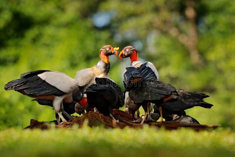 Abutre de rei, papá de Sarcoramphus, com carcaça e os abutres pretos Pássaro principal vermelho, floresta no fundo Cena dos anima fotografia de stock