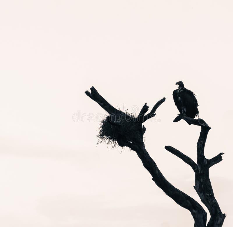 Abutre e ninho em uma árvore desencapada imagem de stock