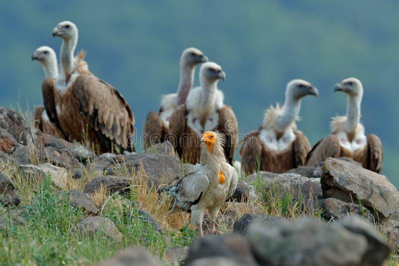 Abutre egípcio com grupo de Griffon Vulture, pássaros de rapina grandes que sentam-se na pedra, montanha da rocha, habitat da nat imagem de stock royalty free