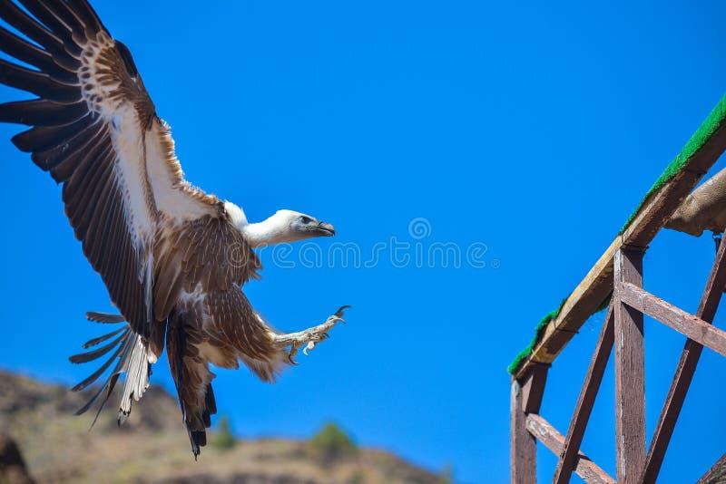Abutre no voo livre no parque Maspalomas de Palmitos, Gran Canaria, Espanha imagem de stock royalty free