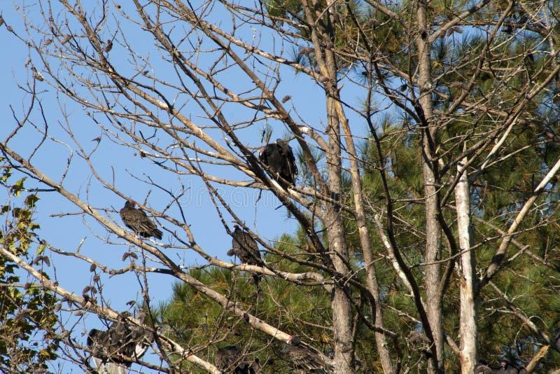 Abutres de Alabama turquia que sentam-se nas árvores foto de stock