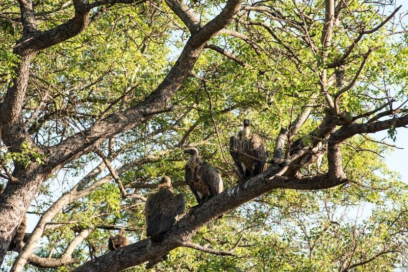 Abutres de dorso branco que sentam-se em uma árvore alta imagens de stock