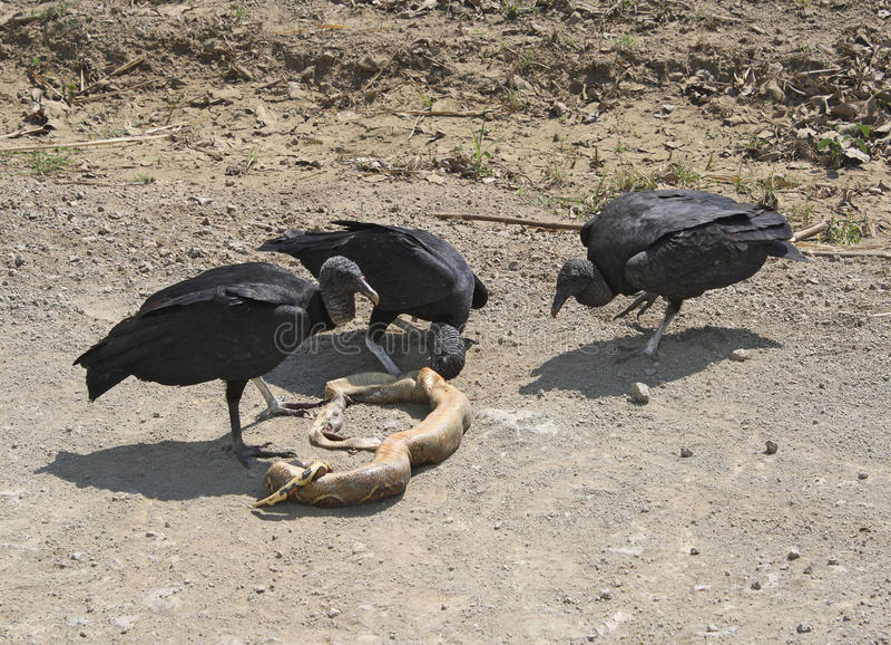 Abutres e serpente pretos imagens de stock