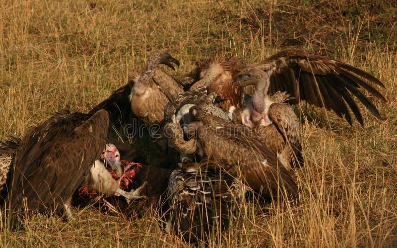 Abutres em uma matança foto de stock