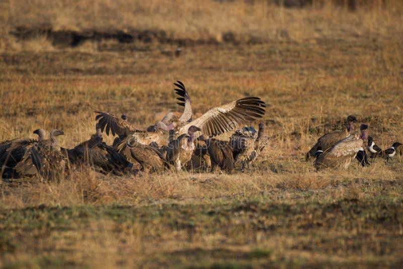 Abutres em uma matança em África do Sul fotos de stock