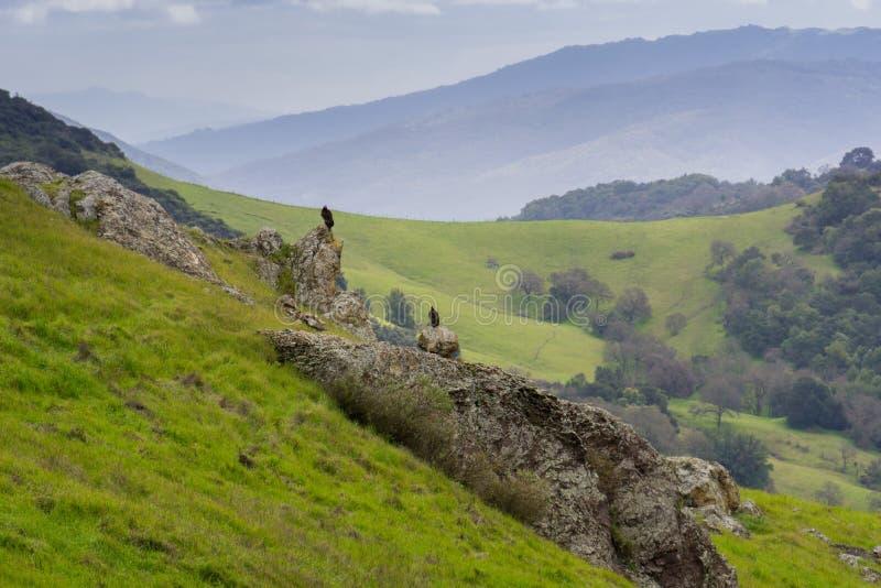 Abutres que sentam-se em uma rocha em um vale em um dia chuvoso, Califórnia imagem de stock