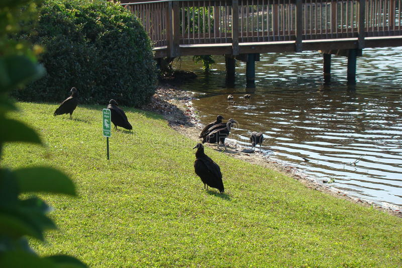 Abutres que verificam para fora algo mortos em Walden Lake foto de stock royalty free