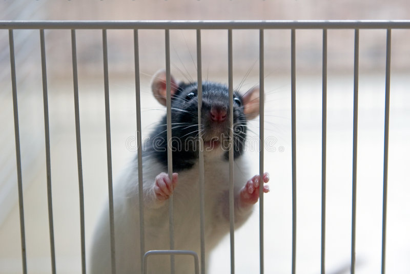 Abwasserkanal-Ratte mögen fast Remy lizenzfreie stockbilder