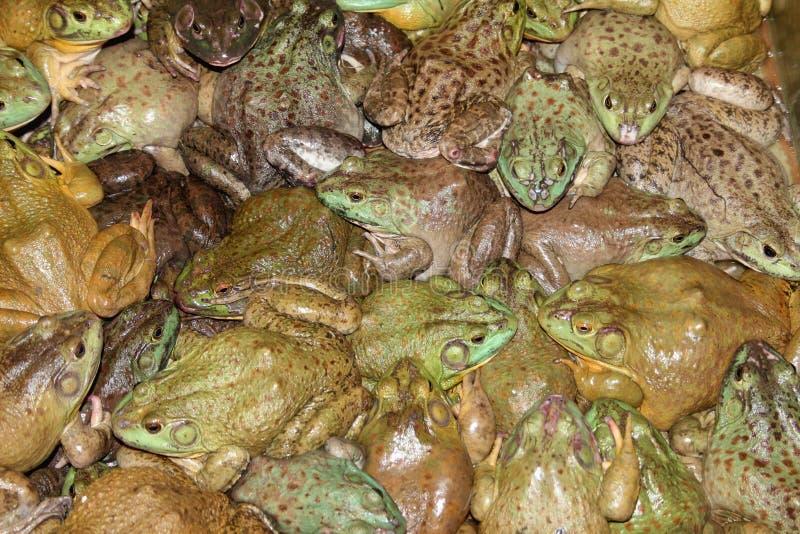 Żaby fotografia stock