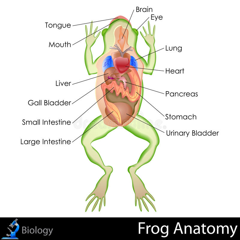 Żaby anatomia royalty ilustracja