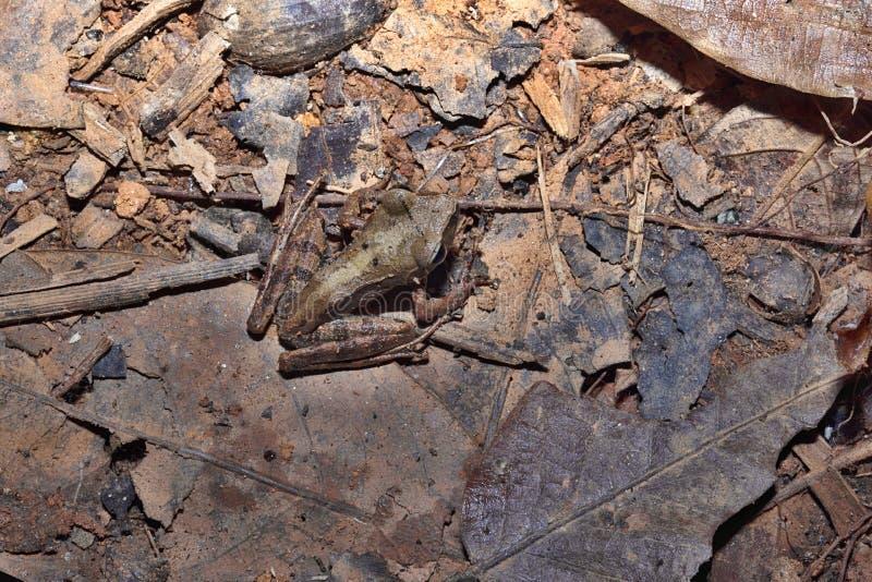 Żaby genus Mantidactylus, Nosaty Mangabe, Madagascar fotografia royalty free