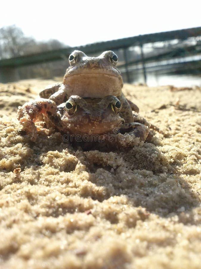 Żaby które znają dlaczego cieszyć się życie zdjęcie royalty free