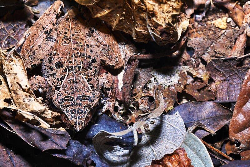 Żaby Mantidactys ssp , Nosaty Mangabe, Madagascar zdjęcia stock