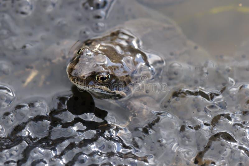Download żaby stawu ikra obraz stock. Obraz złożonej z przyroda - 24415919