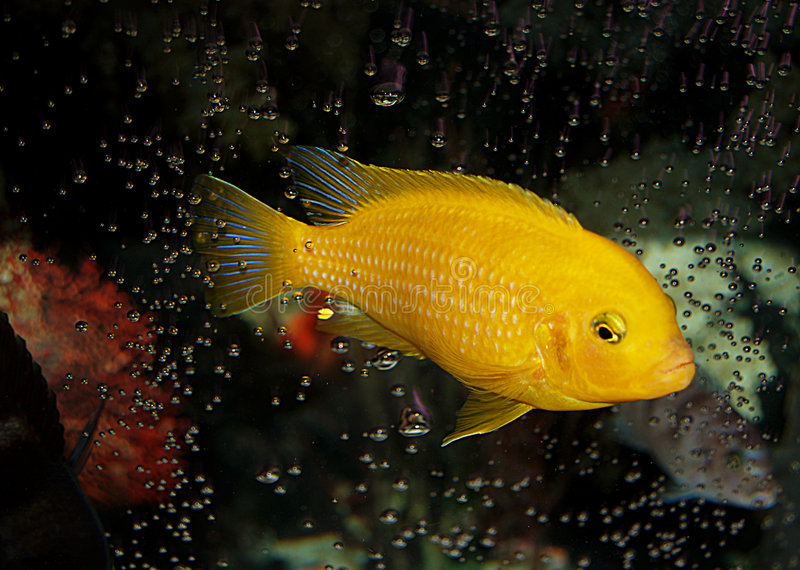From the Abyss. Nice bubble pattern around this male Kenyi African Cichlid. Notice that this is the most dominant cichlid in the tank. He lost all of his blue stock photos