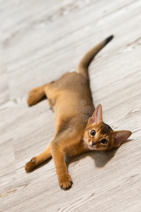 abyssinian γατάκι Αρχαία φυλή γατών στοκ φωτογραφία με δικαίωμα ελεύθερης χρήσης