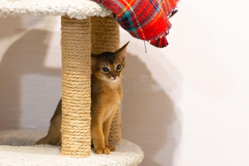 abyssinian γατάκι Αρχαία φυλή γατών στοκ φωτογραφίες