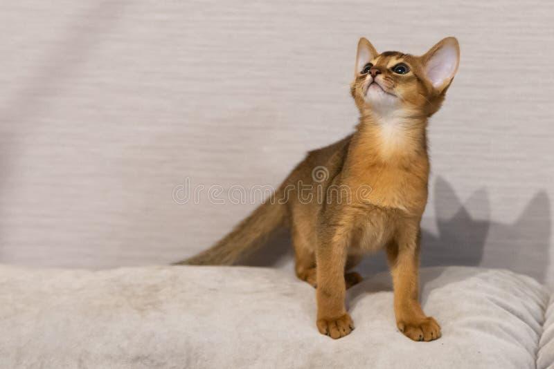 abyssinian γατάκι Αρχαία φυλή γατών στοκ εικόνα