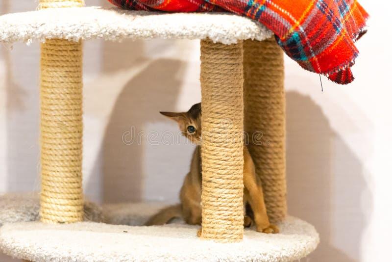 abyssinian γατάκι Αρχαία φυλή γατών στοκ εικόνες με δικαίωμα ελεύθερης χρήσης