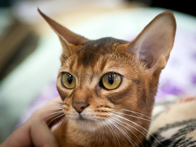 Abyssinian Cat. Young abyssinian breed kitten on the exhibition. Shallow depth of field, selective focus stock photos