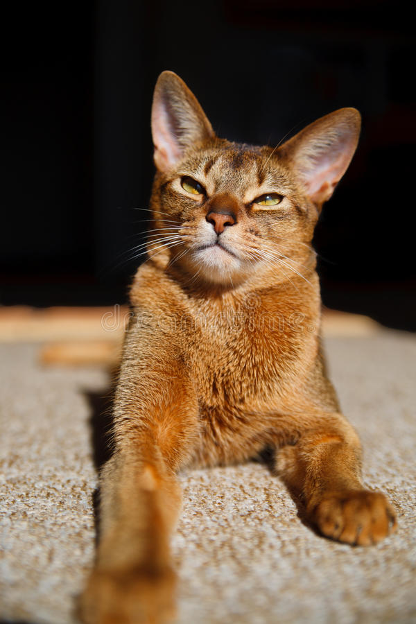 Download Abyssinian cat stock photo. Image of portrait, curiosity - 21200960