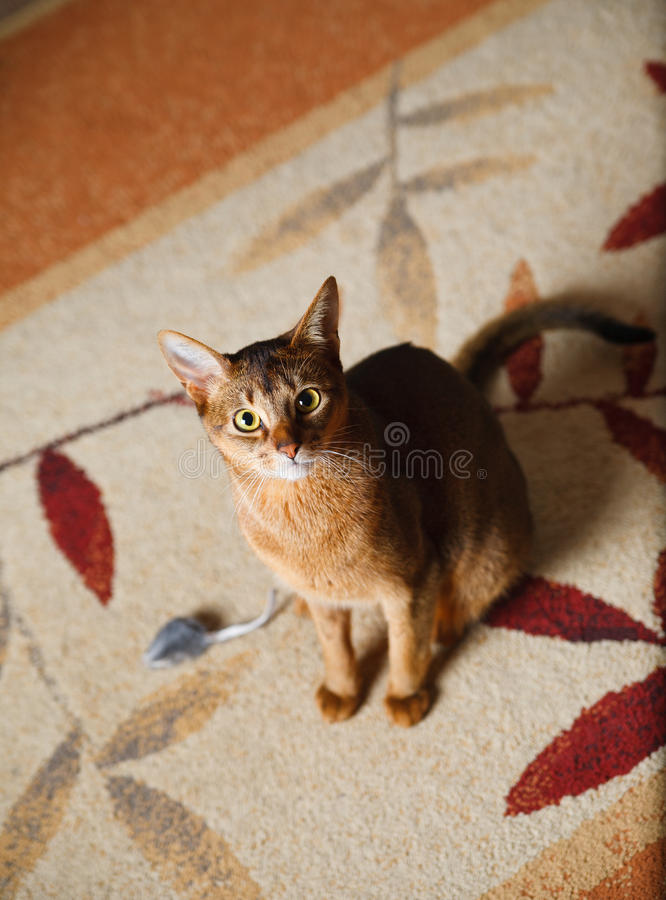 Download Abyssinian cat stock image. Image of male, beauty, carnivore - 21200991