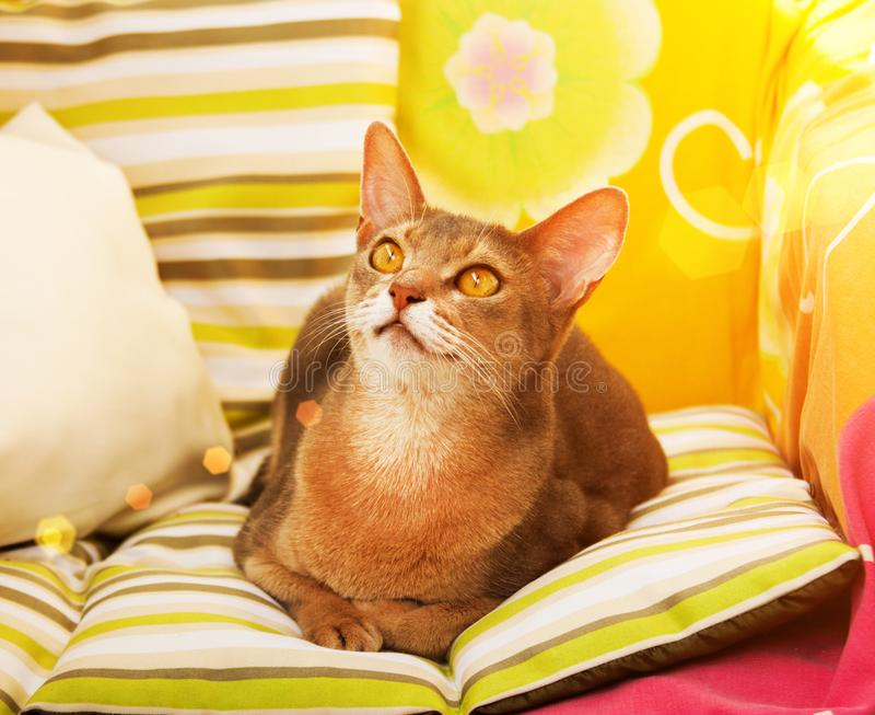 Abyssinian cat. Close up portrait blue abyssinian female cat, sitting on colorful pillow in sunlight royalty free stock photos