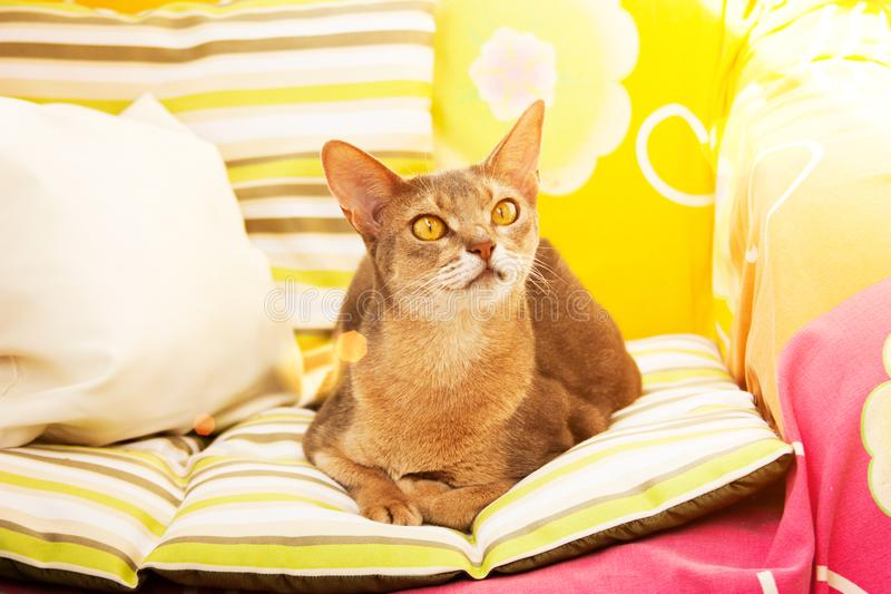 Abyssinian cat. Close up portrait blue abyssinian female cat, sitting on colorful pillow in sunlight stock image