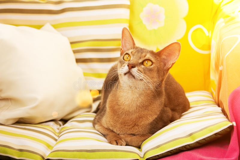 Abyssinian cat. Close up portrait blue abyssinian female cat, sitting on colorful pillow in sunlight stock photos