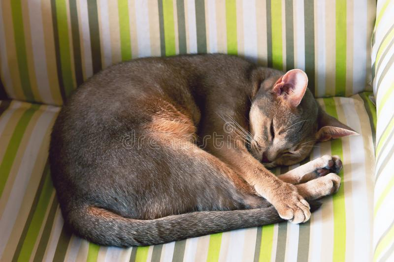 Abyssinian cat. Close up portrait of blue abyssinian female cat, sliping in chair. Pretty cat on yellow green. Abyssinian cat. Close up portrait of blue stock photos