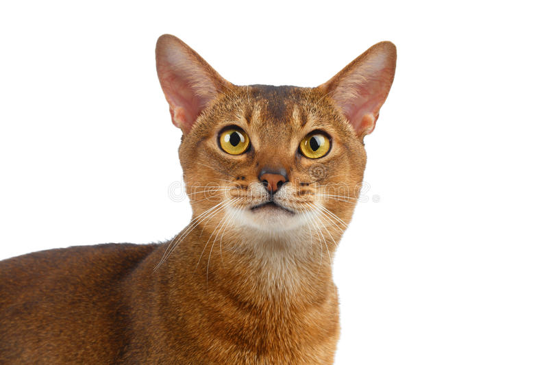 Abyssinian Cat Curiously Looking do close up in camera isolada no branco foto de stock royalty free