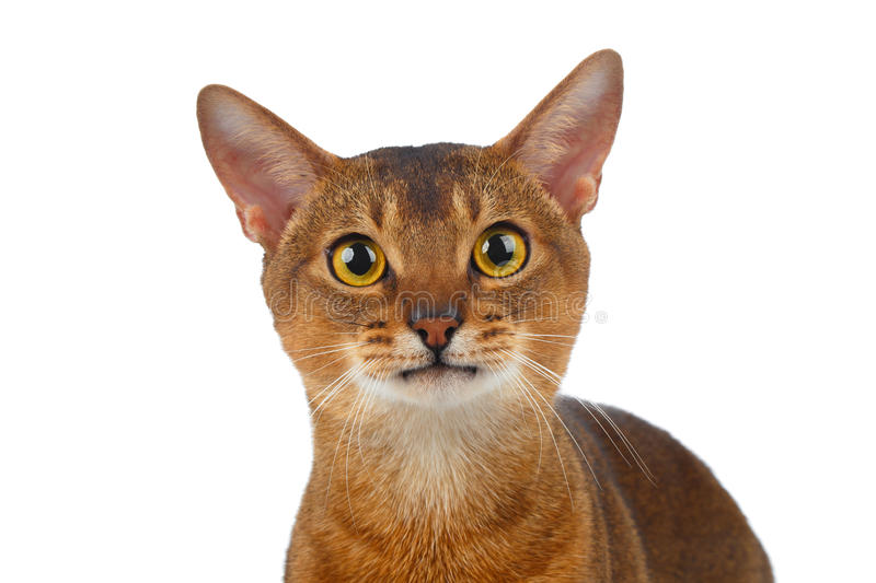 Abyssinian Cat Curiously Looking do close up in camera isolada no branco imagem de stock royalty free