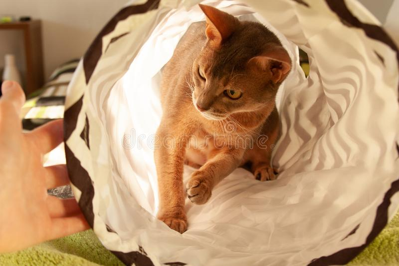 Abyssinian cat playing with human hand at home. Close up portrait of blue abyssinian female cat. Sitting in striped tunnel. Pretty cat, cute kitty, looking stock images