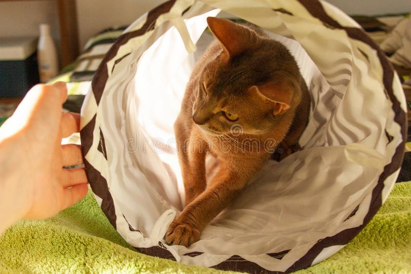 Abyssinian cat playing with human hand at home. Close up portrait of blue abyssinian female cat. Sitting in striped tunnel. Pretty cat, cute kitty, looking stock image