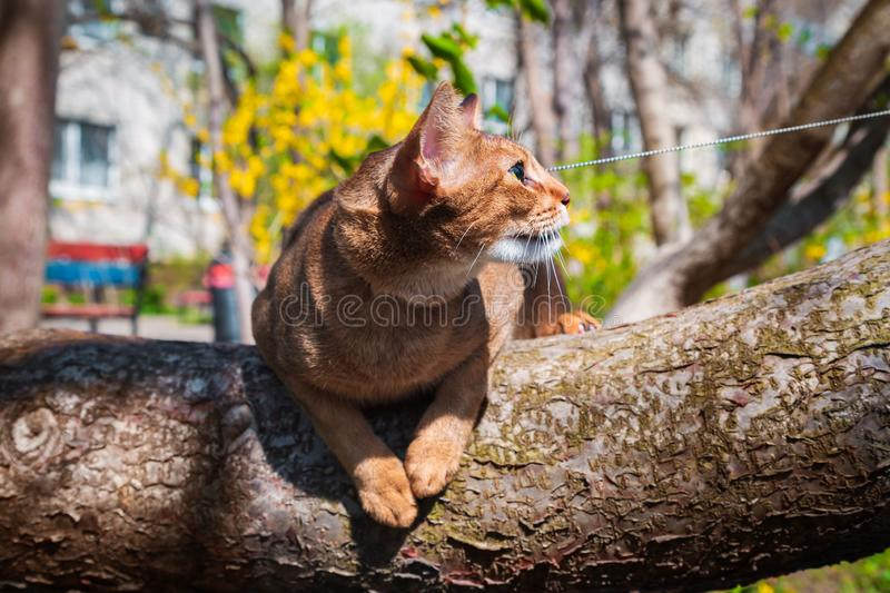 Abyssinian cat sitting on a tree in the sun.  royalty free stock images