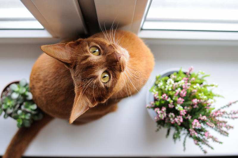 Abyssinian cat sitting on the windowsill with heather and succulents. Purebred abyssinian cat sitting on the windowsill with heather and succulents, indoor royalty free stock photo