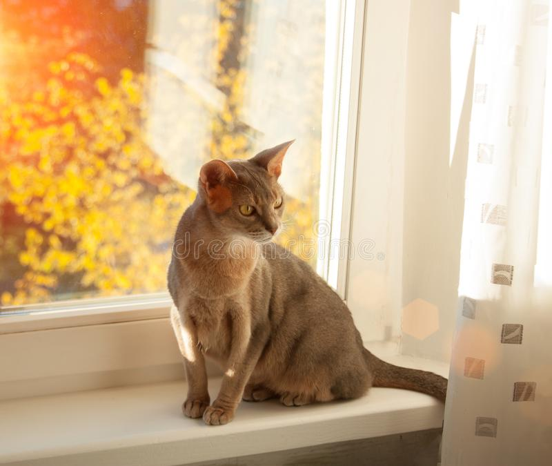 Abyssinian cat at window. Close up portrait of blue abyssinian female cat, sitting on windowsill royalty free stock image