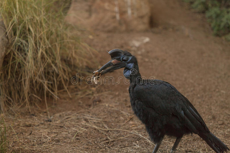 Abyssinian ground hornbill, Bucorvus abyssinicus. Bird is black with feathers that look like thick eye lashes. Males have a red bib. Females are all black stock image