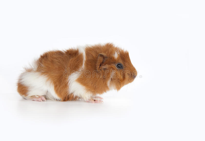 Download Abyssinian Guinea Pig (Cavia Porcellus) Stock Photo - Image: 10383496