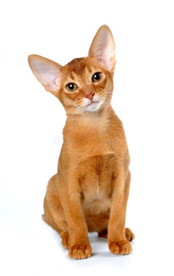 abyssinian isolerad kattungered sitter white royaltyfri foto
