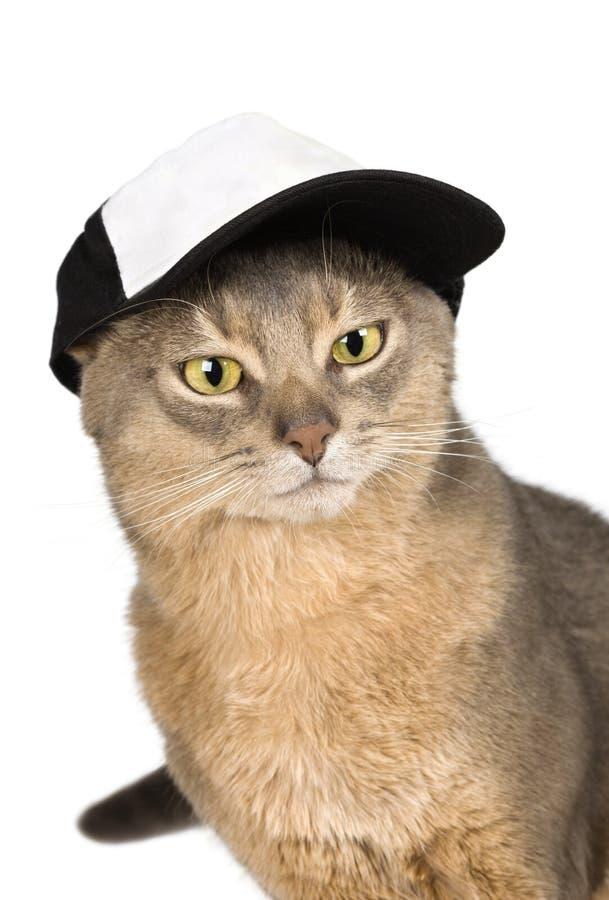 abyssinian isolerad white för baseballmössa katt arkivbilder
